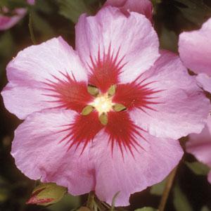 Lauterwasser: fleur